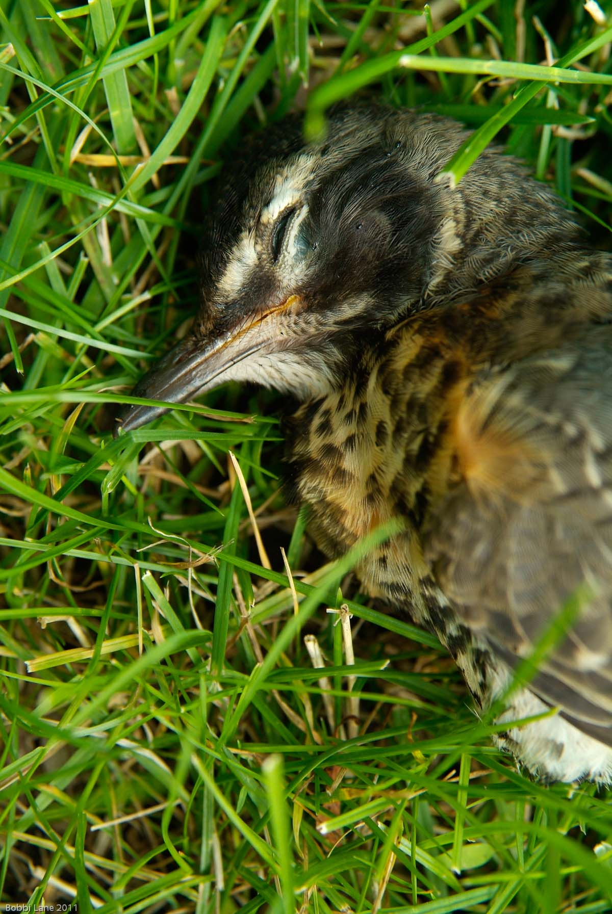 4-Robin in grass